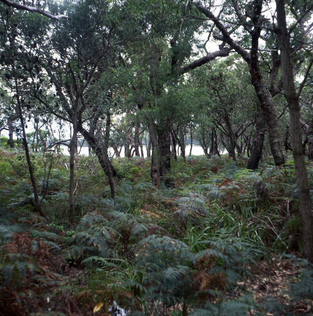 Ferns and banksias - Booderee NP