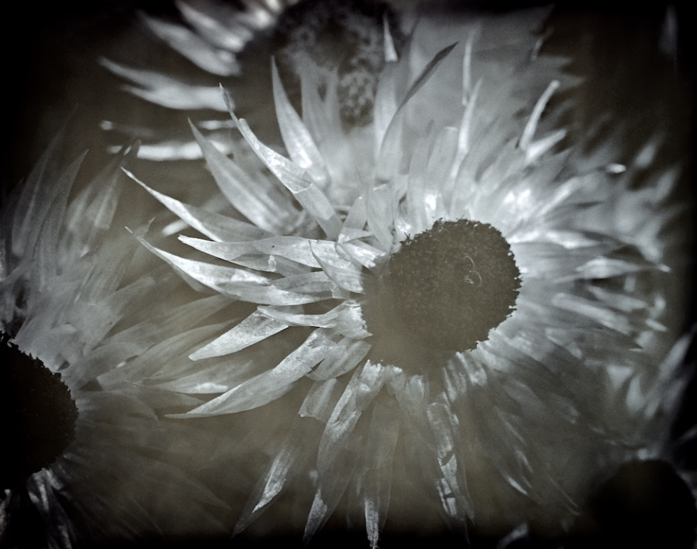 Paper daisy - helichrysum elatum